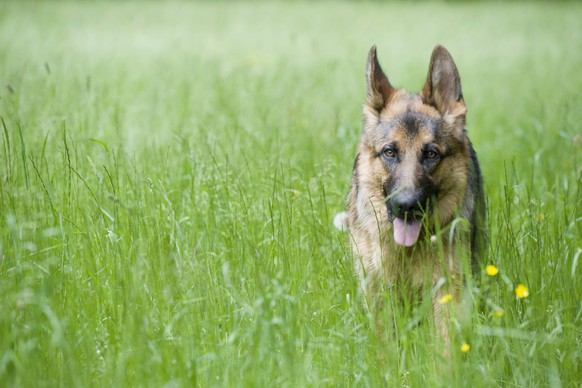 Deutscher Schaeferhund (Canis lupus f. familiaris), steht in hohem Gras, Deutschland German Shepherd Dog (Canis lupus f. familiaris), standing on high grass, Germany BLWS503744 Copyright: xblickwinkel/McPHOTO/M.xBegsteigerx