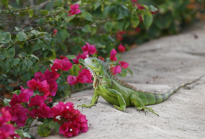 FILE - In this Dec. 7, 2016, file photo, a green iguana checks out the flowers on a Bougainvillea plant in Hollywood, Fla. A Florida Fish and Wildlife Conservation Commission news release says people should exterminate the large green lizards on their properties as well as on 22 public lands areas across South Florida. Iguanas aren't dangerous or aggressive, but they damage seawalls, sidewalks, landscape foliage and can dig lengthy tunnels. (AP Photo/Wilfredo Lee, File)