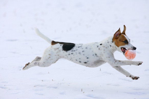 Jack Russell Terrier (Canis lupus f. familiaris), spielt im Schnee mit einem Ball in der Schnauze, Deutschland Jack Russell Terrier (Canis lupus f. familiaris), playing in snow with a ball in the mouth, Germany BLWS485620 Copyright: xblickwinkel/W.xLayerx